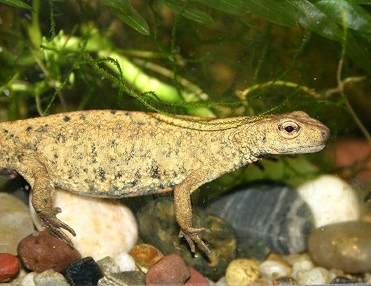 Picture of a chinese warty newt (Paramesotriton chinensis)
