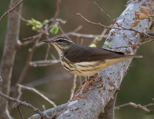 Picture of a louisiana waterthrush (Parkesia motacilla)
