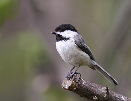 Picture of a black-capped chickadee (Parus atricapillus)