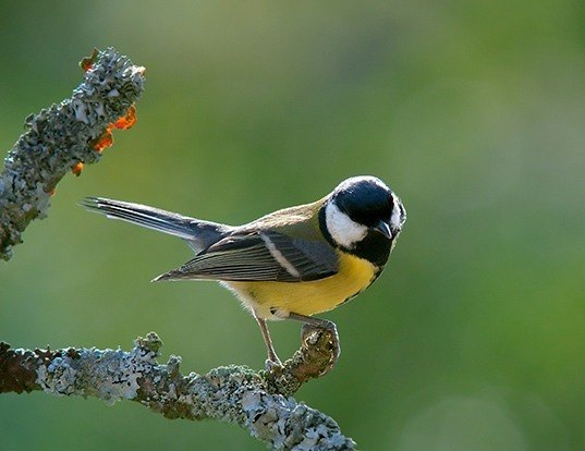 Picture of a great tit (Parus major)