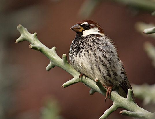 Picture of a spanish sparrow (Passer hispaniolensis)