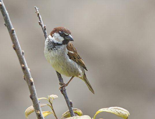 Picture of a italian sparrow (Passer italiae)