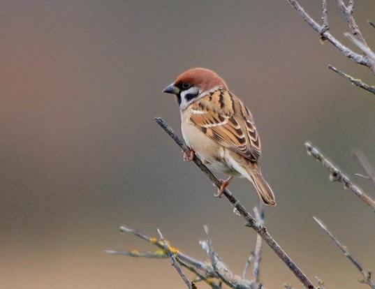 Picture of a eurasian tree sparrow (Passer montanus)