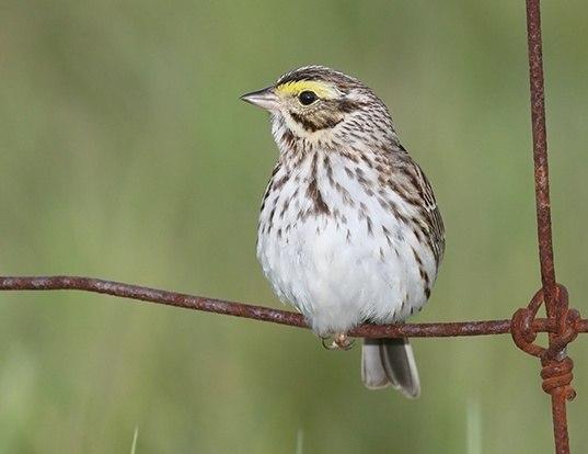 Picture of a savannah sparrow (Passerculus sandwichensis)