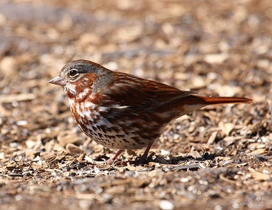 Picture of a fox sparrow (Passerella iliaca)