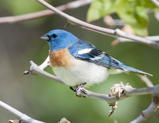 Picture of a lazuli bunting (Passerina amoena)
