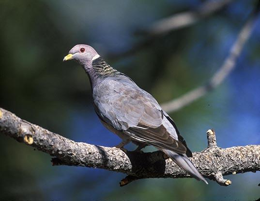 Picture of a northern band-tailed pigeon (Patagioenas fasciata)