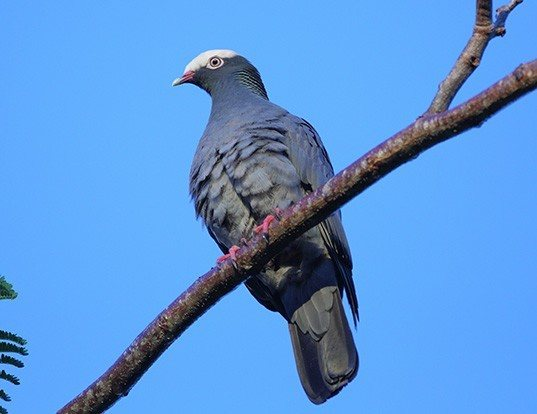 Picture of a white-crowned pigeon (Patagioenas leucocephala)