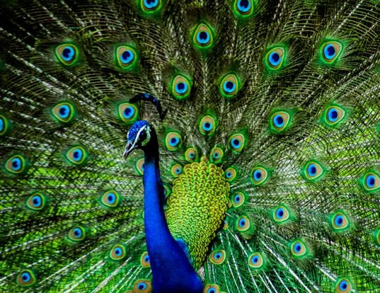 Picture of a peacock (Pavo cristatus)