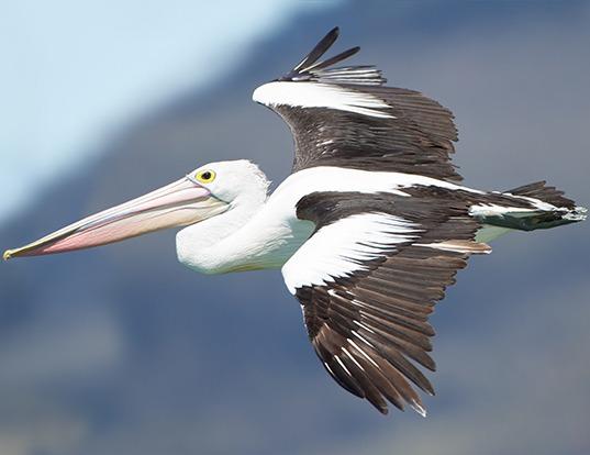 Picture of a australian pelican (Pelecanus conspicillatus)