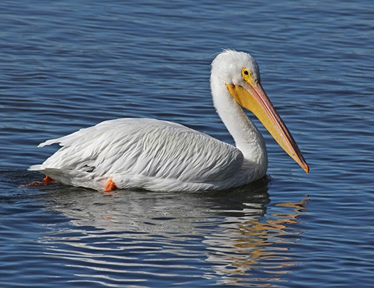 Picture of a american white pelican (Pelecanus erythrorhynchos)