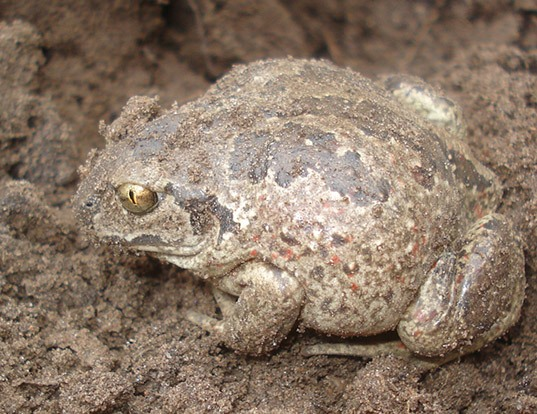 Picture of a spadefoot (Pelobates fuscus)