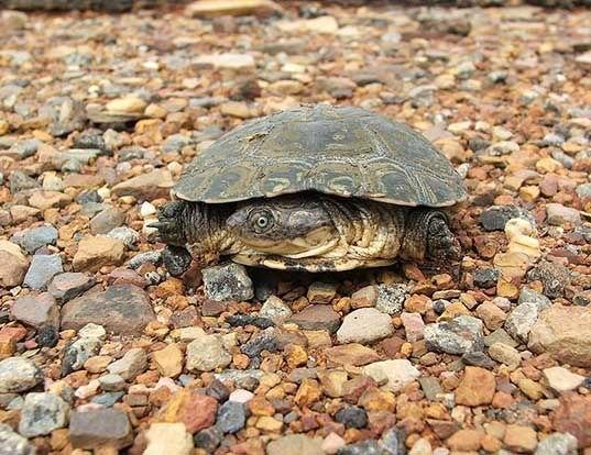 Picture of a helmeted turtle (Pelomedusa subrufa)