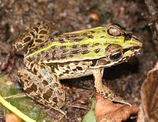 Picture of a black-spotted pond frog (Pelophylax nigromaculatus)