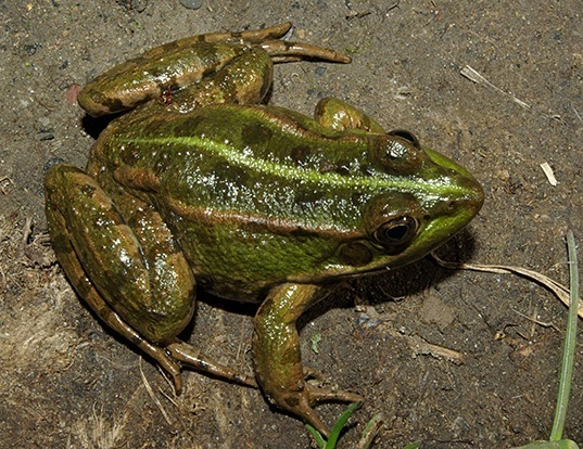 Picture of a italian green frog (Pelophylax perezi)