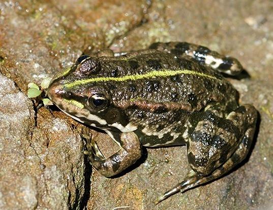 Picture of a eurasian marsh frog (Pelophylax ridibundus)