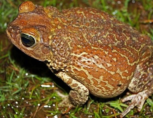 Picture of a cuban toad (Peltophryne peltocephala)