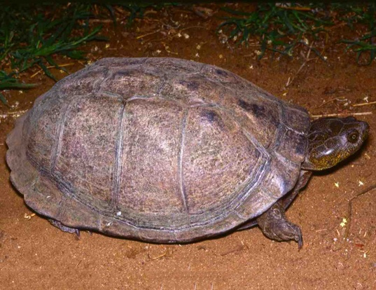 Picture of a east african serrated mud turtle (Pelusios sinuatus)