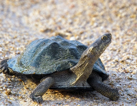 Picture of a east african black mud turtle (Pelusios subniger)