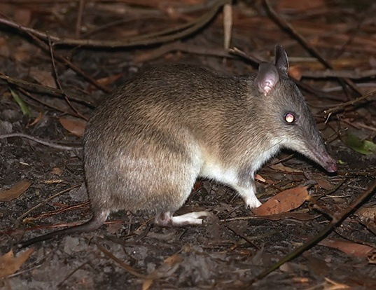 Picture of a long-nosed bandicoot (Perameles nasuta)