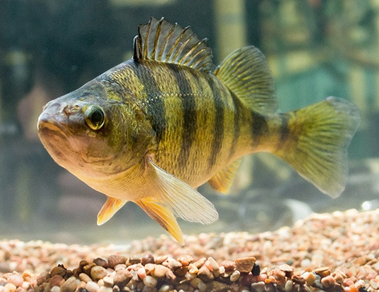 Picture of a yellow perch (Perca flavescens)