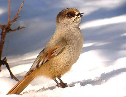Picture of a siberian jay (Perisoreus infaustus)