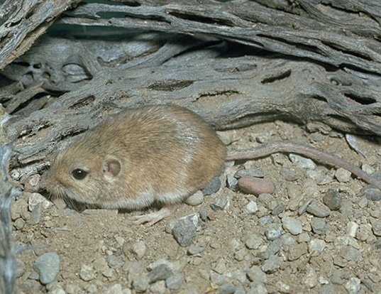 Picture of a arizona pocket mouse (Perognathus amplus)