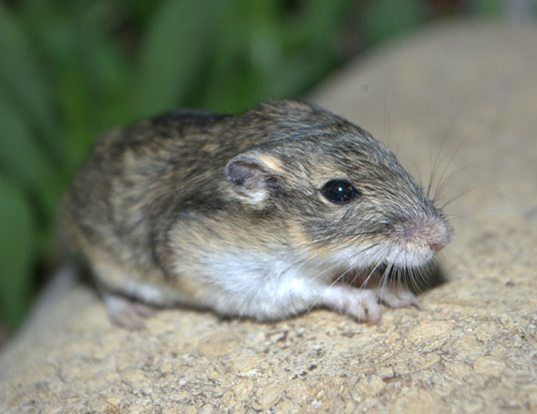 Picture of a olive-backed pocket mouse (Perognathus fasciatus)