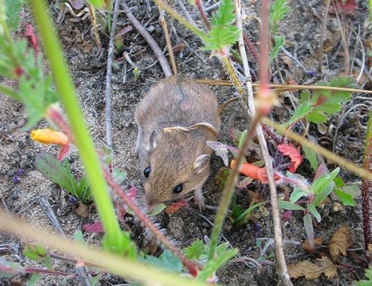 Picture of a los angeles little pocket mouse (Perognathus longimembris)