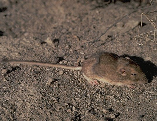 Picture of a great basin pocket mouse (Perognathus parvus)
