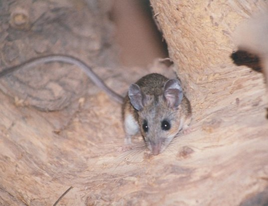 Picture of a brush mouse (Peromyscus boylii)