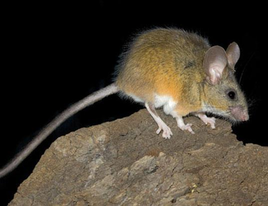 Picture of a california mouse (Peromyscus californicus)