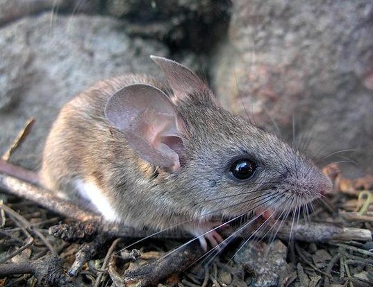 Picture of a cactus mouse (Peromyscus eremicus)