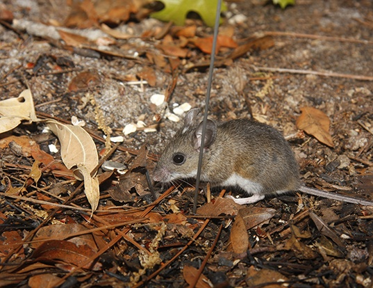 Picture of a cotton deermouse (Peromyscus gossypinus)