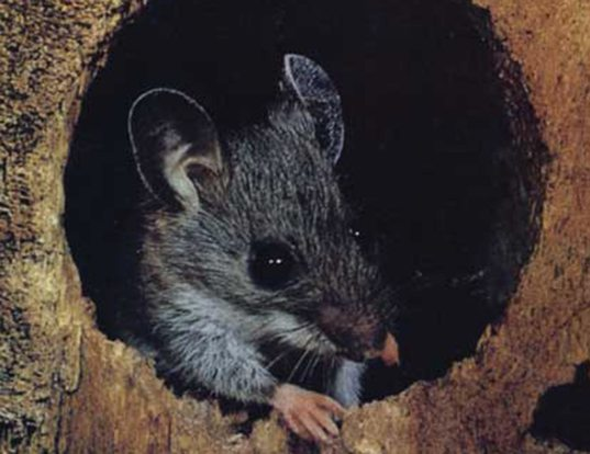 Picture of a guatemalan deer mouse (Peromyscus guatemalensis)