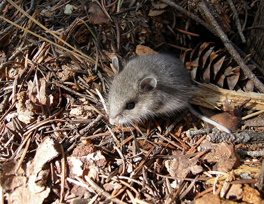 Picture of a northwestern deermouse (Peromyscus keeni)