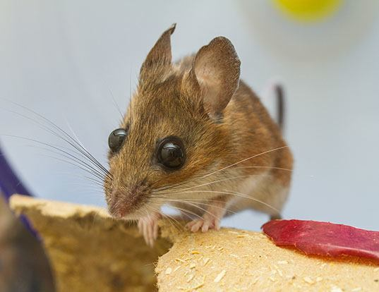 Picture of a white-footed mouse (Peromyscus leucopus)