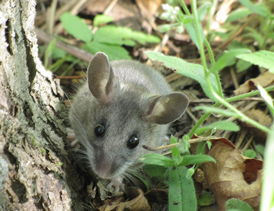 Picture of a north american deermouse (Peromyscus maniculatus)
