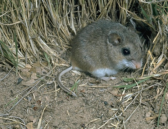 Picture of a choctawhatchee beach mouse (Peromyscus polionotus)
