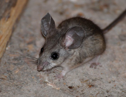 Picture of a pinyon mouse (Peromyscus truei)