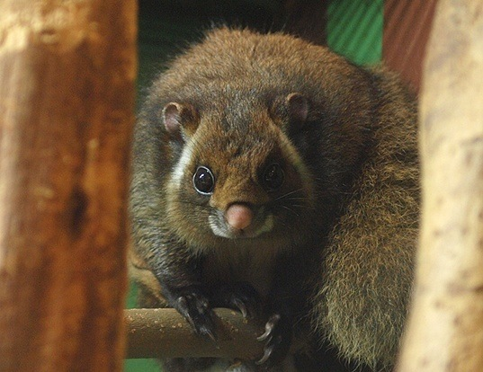 Picture of a japanese giant flying squirrel (Petaurista leucogenys)