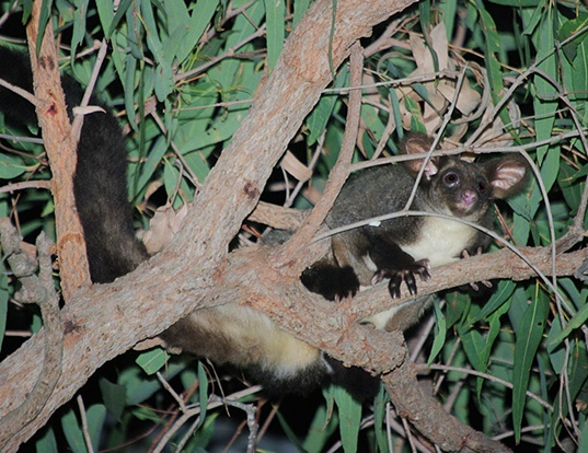 Picture of a greater glider (Petauroides volans)