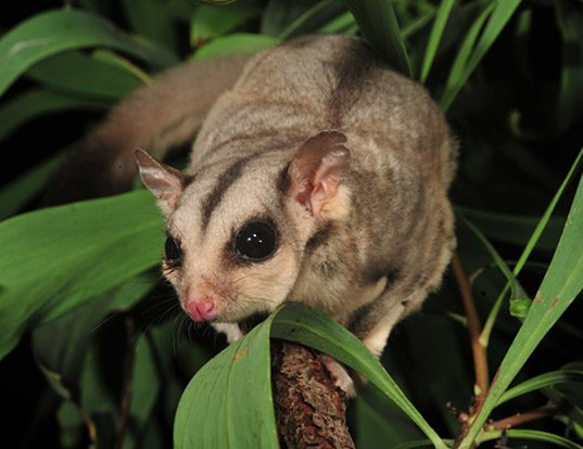 Picture of a sugar glider (Petaurus breviceps)