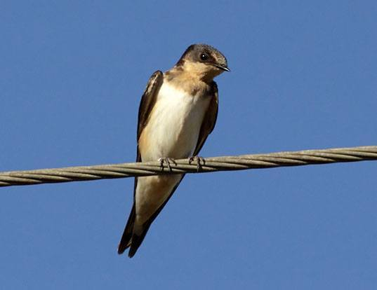 Picture of a cave swallow (Petrochelidon fulva)