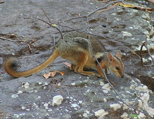 Picture of a short-eared rock-wallaby (Petrogale brachyotis)