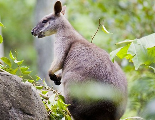 Picture of a proserpine rock wallaby (Petrogale persephone)