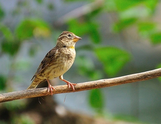Picture of a rock sparrow (Petronia petronia)