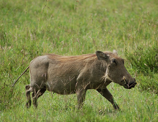Picture of a warthog (Phacochoerus africanus)