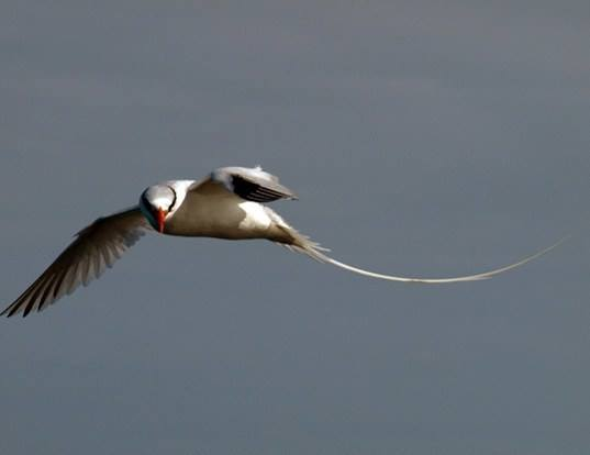 Picture of a red-billed tropicbird (Phaethon aethereus)
