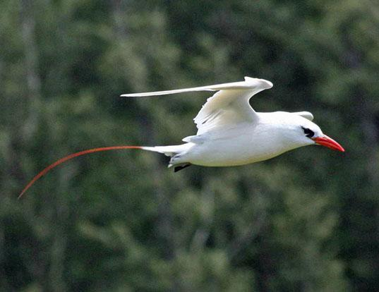 Picture of a red-tailed tropicbird (Phaethon rubricauda)